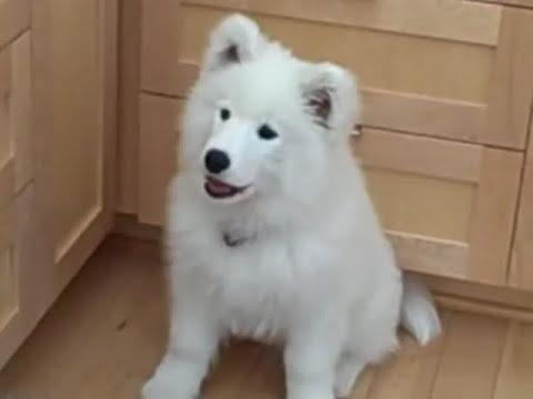 Hardy Talking Samoyed Puppy
