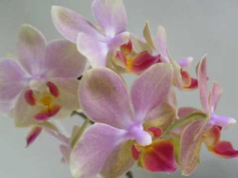 Biagio Antonacci - Orchidea