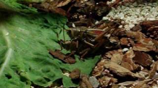 cricket sex