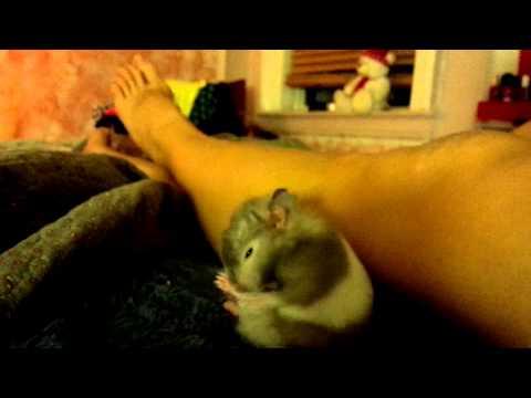 Hamster Hryumka is cleaning it's fur.cute.funny.хомячок умывается. милашка. лапочка.