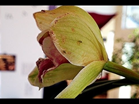 Safely Controling Aphids : How to make a DYI Houseplant & Orchid APHID BUG SPRAY cheap and easily