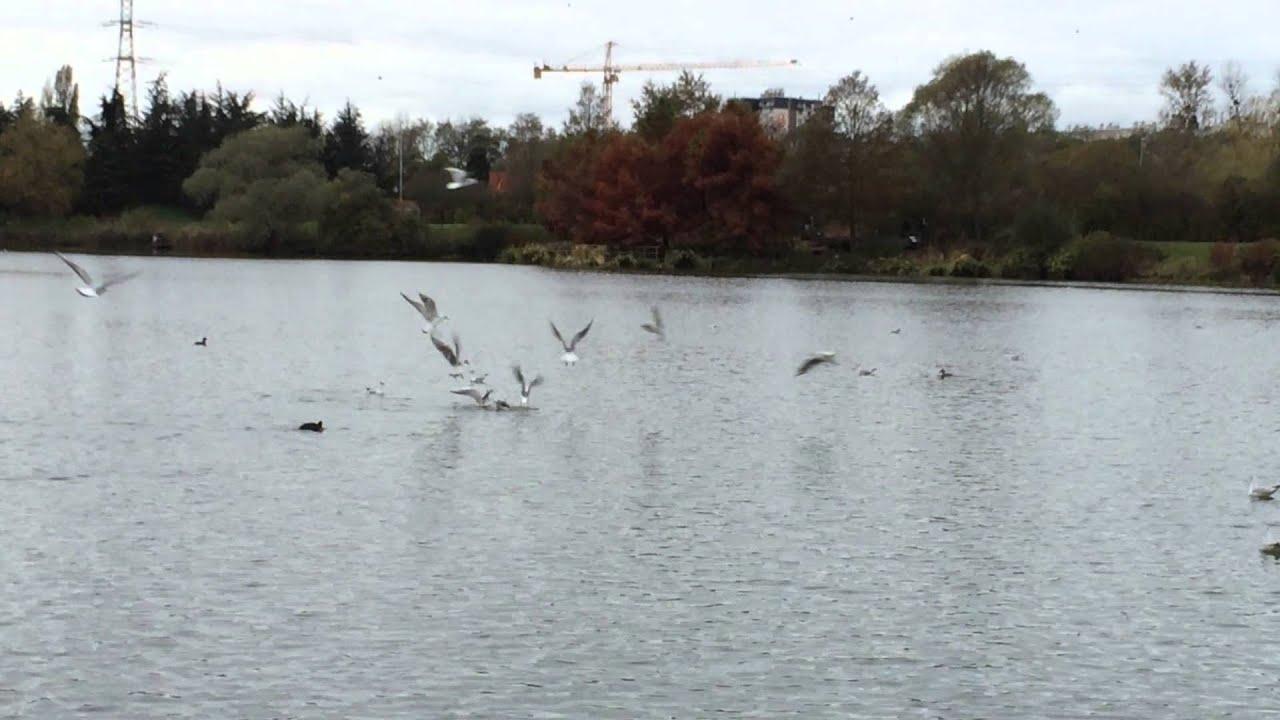 Impressionnant ballet d u2019oiseaux sur le lac de Savigny au parc du Saussetà Aulnay sous Bois