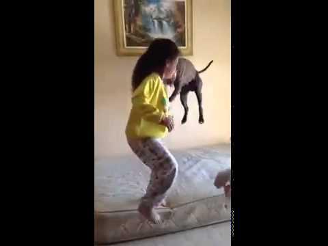 Jumping pitbull - pitbull with kids