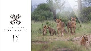 download lagu Elephants Chase Lion Pride- Londolozi Tv gratis