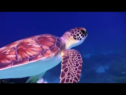 SCUBA diving with Sea Turtles Underwater on Coral reefs with relaxing music to meditate to