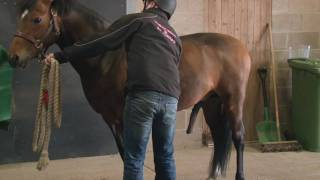 Semen Collection - Ground Collection of a Shy Pony