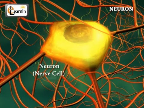 Neurons or nerve cells - Structure function and types of neurons   Human Anatomy   3D Biology