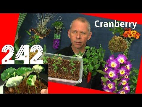 Cranberry Moosbeere die Vermehrung durch Stecklinge Dokumentation