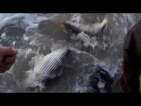Download Mouse Striper Bass Fishing Hopkins 150 SHORTY & Trusty Teaser Mp4 baru