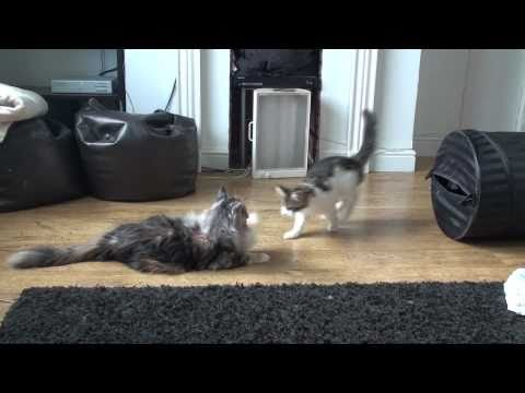 Maine Coon Kitten's Playing