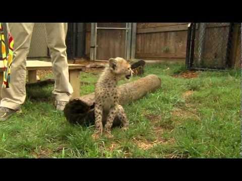 Savanna Cheetah Cub and Puppy Max Play - Gepárd kölyök kutyával játszik