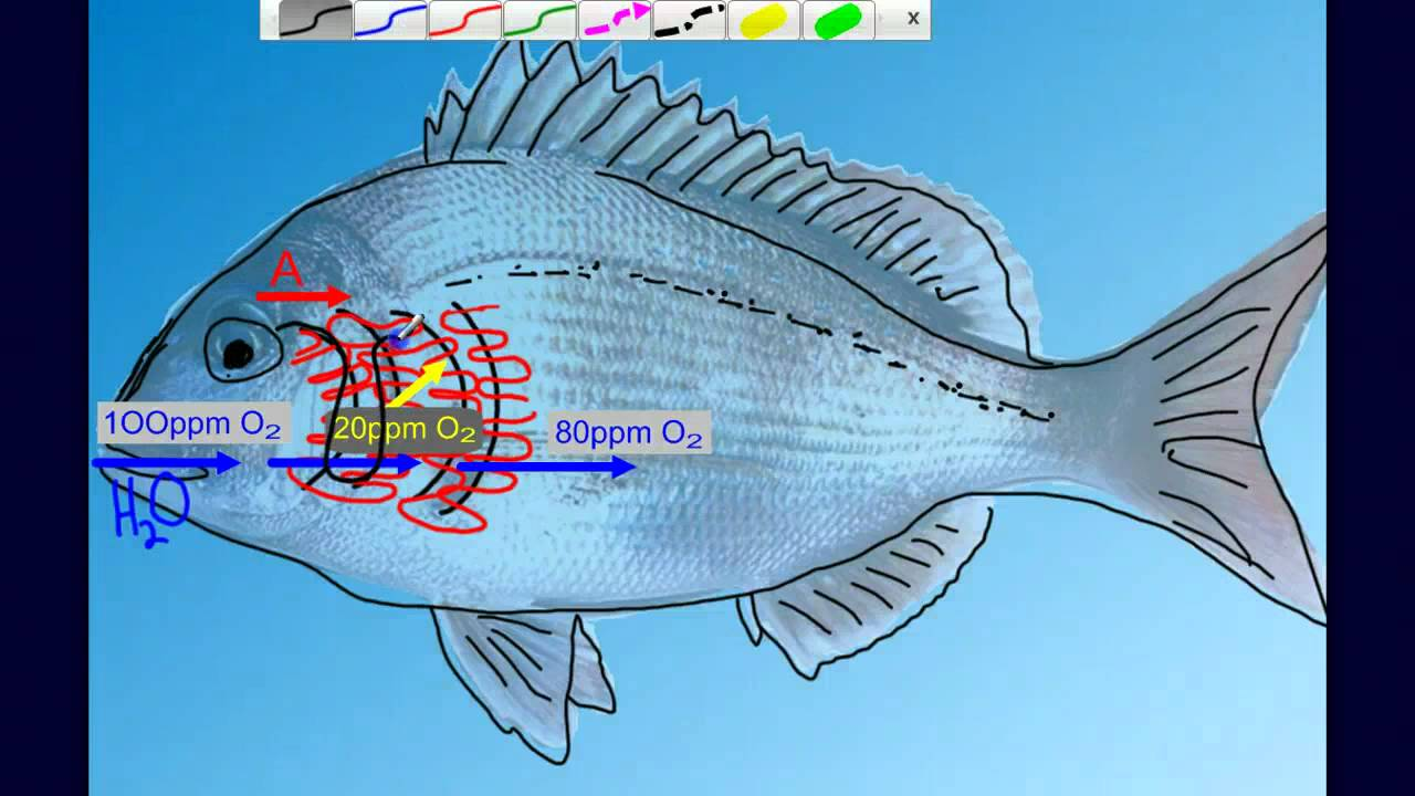 physiology of respiration in fishes pdf