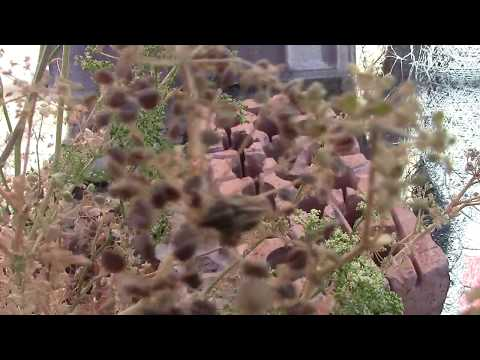 Extraer semilla de perejil de la planta