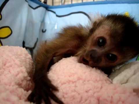 baby monkey nala waking up youtube