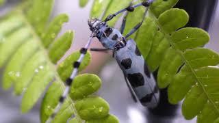 2種類のカミキリ虫