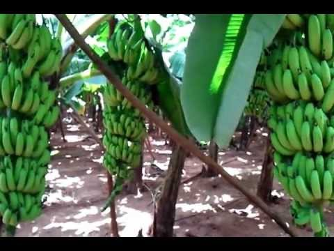 Grand naine banana farm