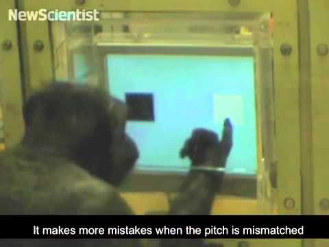 Brains wired for language , if only chimps could talk - 5 December 2011 / Life
