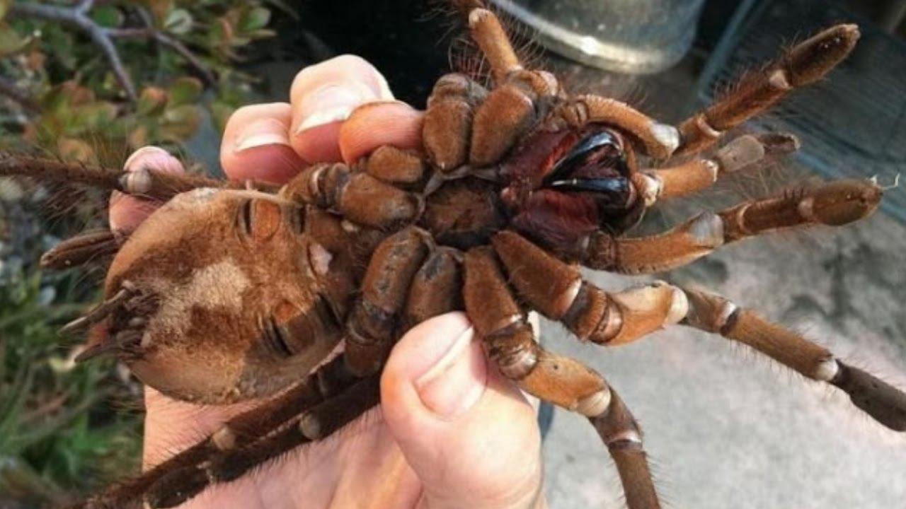 Giant spider eating bird - photo#21