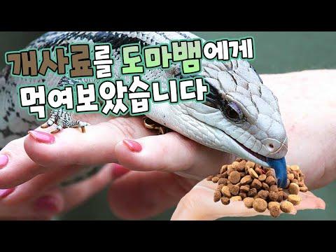 개사료를 도마뱀한테 먹여보겠습니다. 파충류도 강아지처럼 사료를 먹는다? 파충류소녀와 함께하는 식사시간