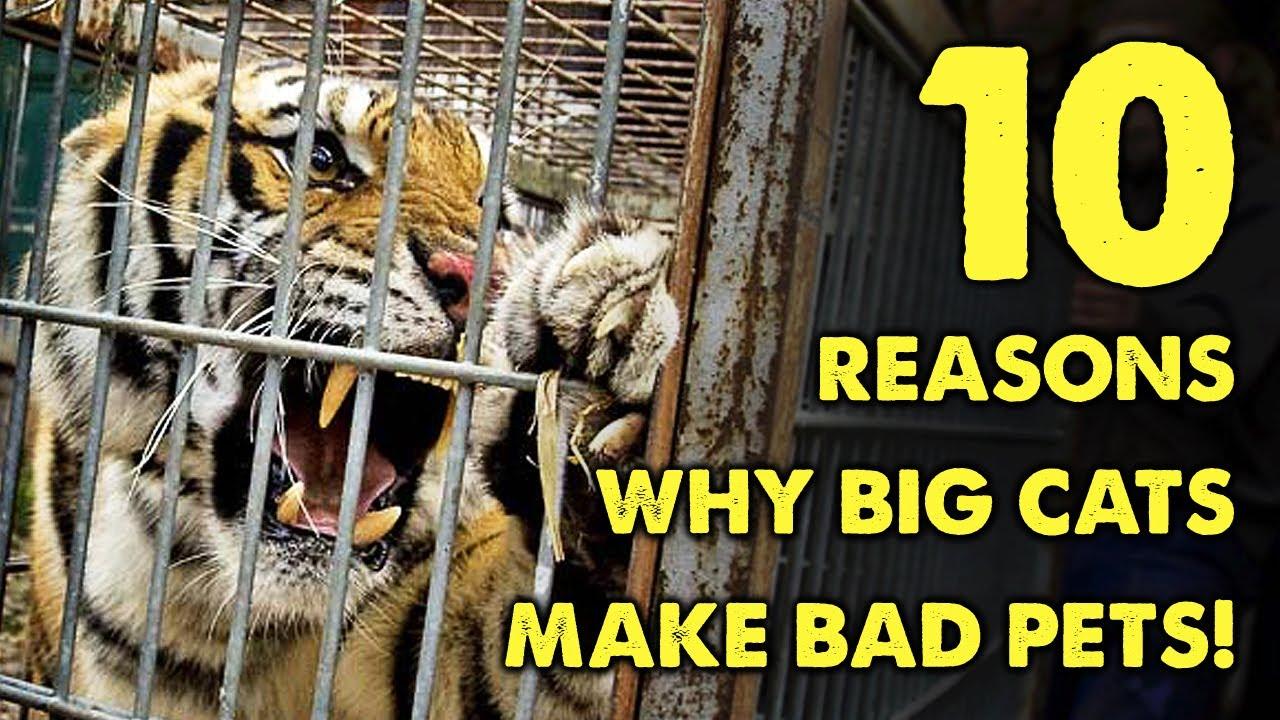 Big Pet Big Cats Make Bad Pets