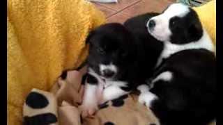 Mastine Pups 3.3gp