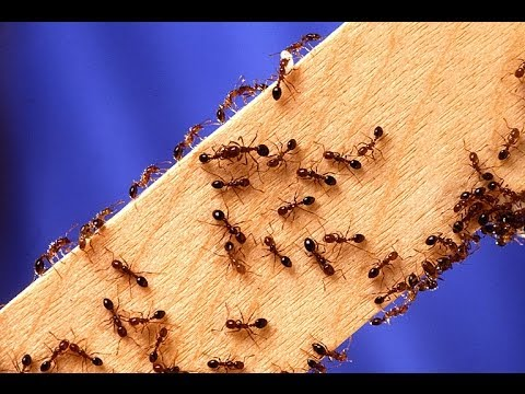 how to kill fire ants dead youtube. Black Bedroom Furniture Sets. Home Design Ideas