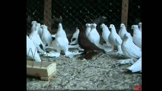 North Kavkaz Tumbler Pigeons In Russia [PART 1]