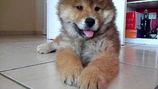 iyuna puppy eurasier