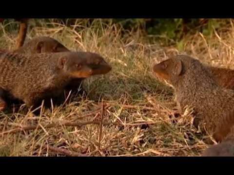 Searching for acceptance - Banded Brothers (The Mongoose Mob) - BBC