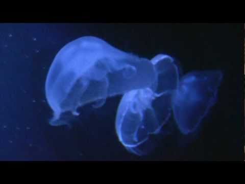 fluorescent Jellyfish in the Oceanium Rotterdam Holland HD