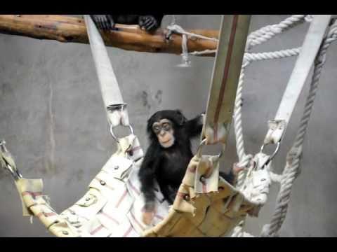 ハンモックに飛び降りて遊ぶチンパンジーのハロー♂(いしかわ動物園)