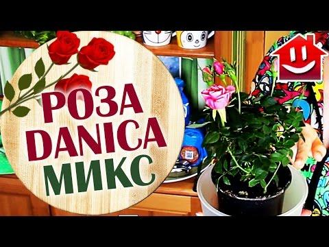 МОЯ МИНИ РОЗА ДАНИКА МИКС / Mini Rose Danica D-10 H-25 : Domovenok