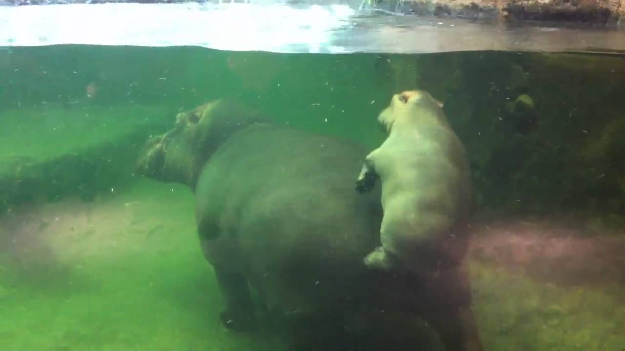 Hippo Explosive Diarrhea Don t Make A Hippo Angry
