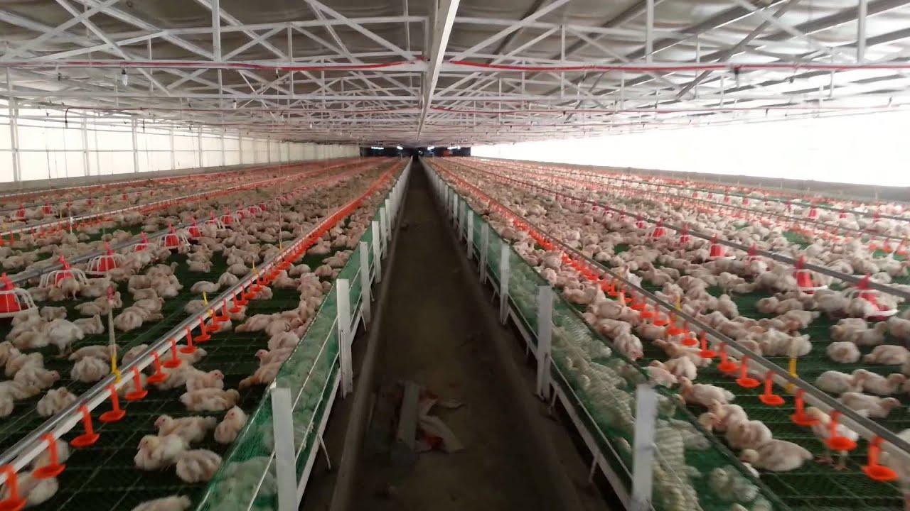 Rey Du Poultry Farm At Pililia Rizal Philippines YouTube