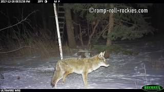 Mountain lion injures a coyote during battle for a meal (Dec, 2017)