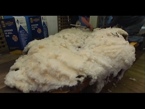 Shaun the sheep gets first shearing in six years