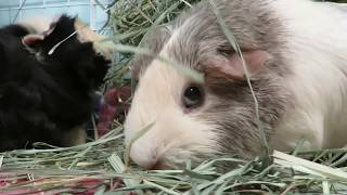 ASMR: Small Pets Eating (Guinea Pigs & Rabbit)