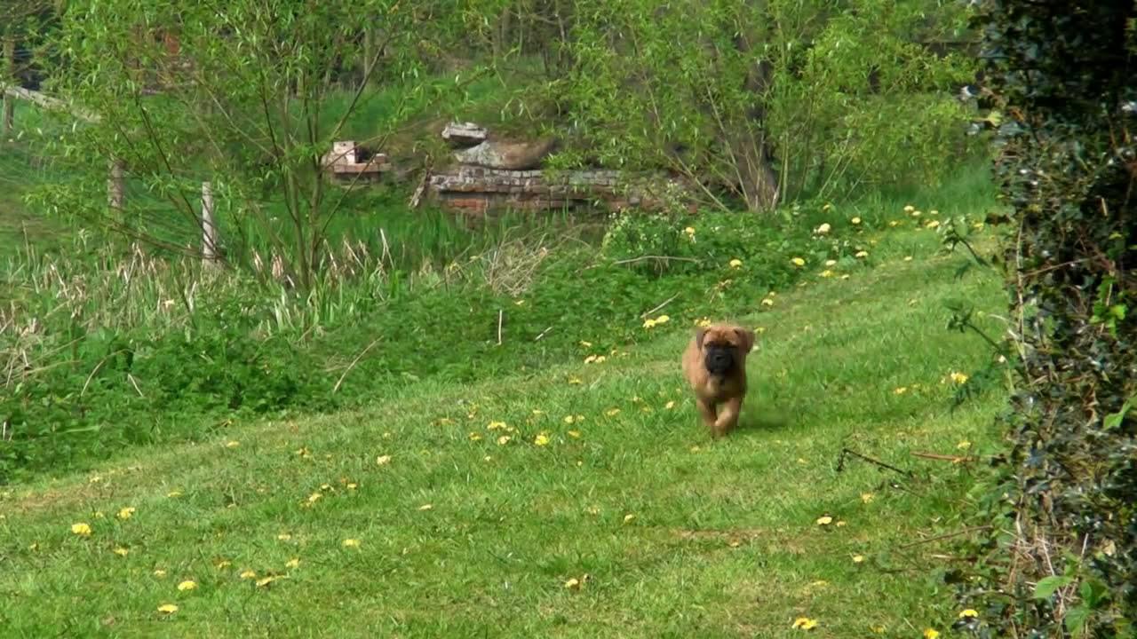 English Bull Mastiff