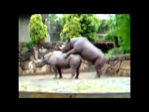 hot rhinos, breeding rhinos, rhinos intercourse rinocerontes apareandose