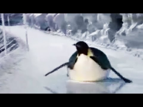 Penguin ice race - BBC animation Video