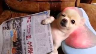 Cómo disfruta este Chihuahua de un masaje en el cuello