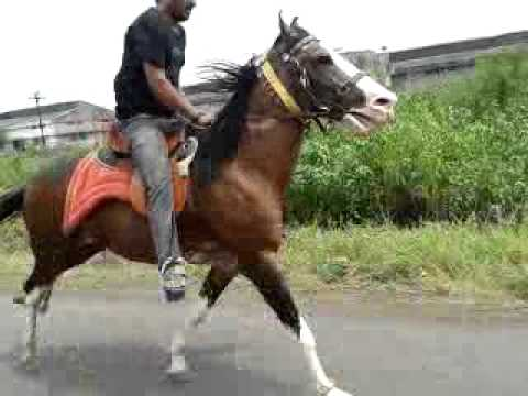 Sindhi Horse Sanjay Daliya8.mp4 video