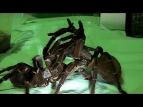 Goliath Tarantulas mating! (T. stirmi pairing #1)