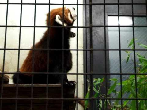 レッサーパンダ by 野毛山動物園