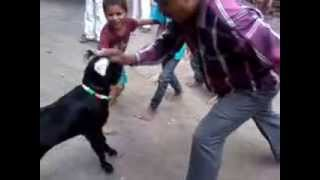 GOAT FIGHT IN BIJAPUR (MEN V/S GOAT)