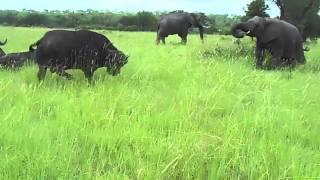 මී හරක් අලි වලියක් බලන්නකෝ  Elephant kicks a buffalo in the head