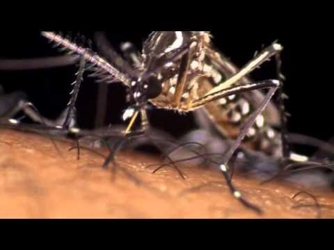 Brazil releases 'good' mosquitoes to fight Dengue fever | 25 September  2014