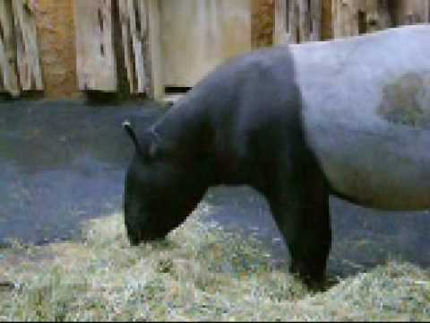 Schabrackentapir @ Dortmunder Zoo