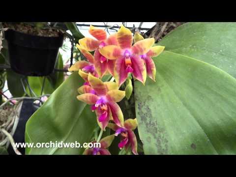 OrchidWeb - Phal. Guadalupe Pineda