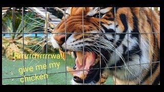 Tiger sleeping position ! in 4K